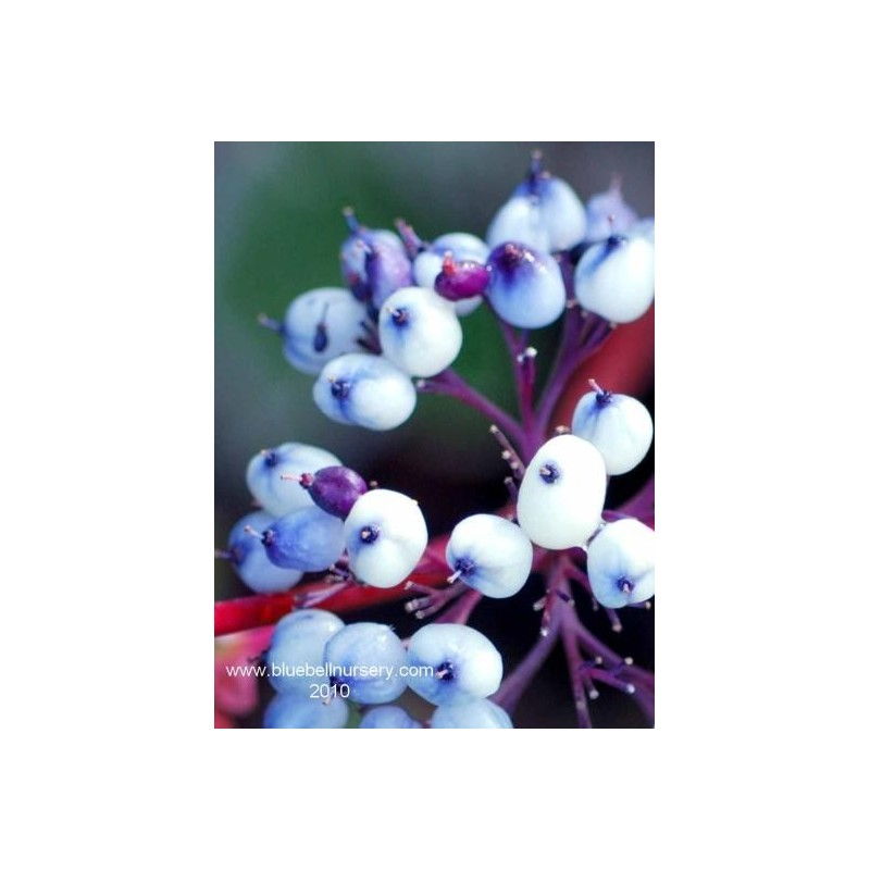 Cornus alba 'Siberian Pearls'