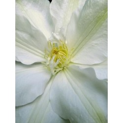 Clematis 'Guernsey Cream' - summer flowers
