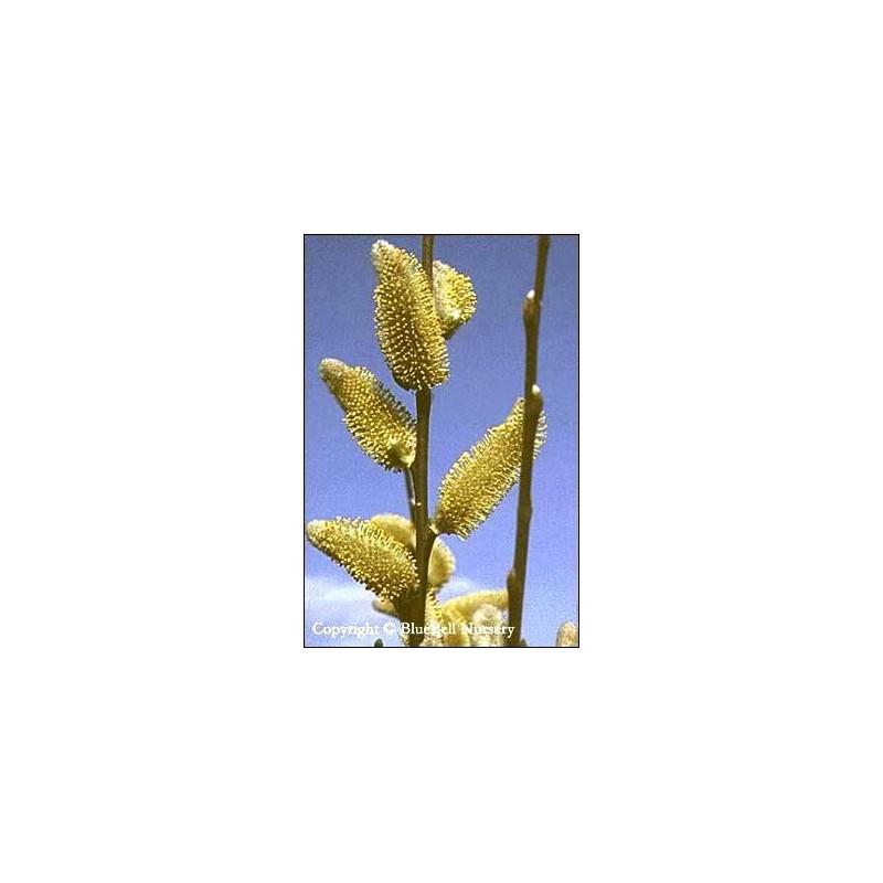Salix hookeriana