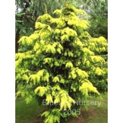 Taxus baccata 'Dovastonii Aurea'