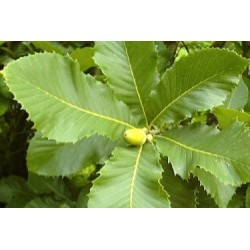 Quercus pontica - close up of leaves