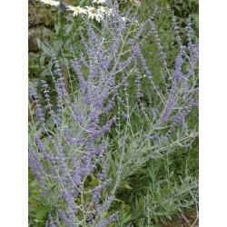 Perovskia atriplicifolia 'Blue Spire'
