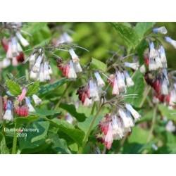 Symphytum 'Hidcote Blue' - spring flowers