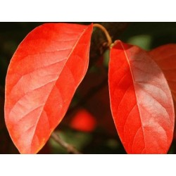 Nyssa sinensis - autumn colour