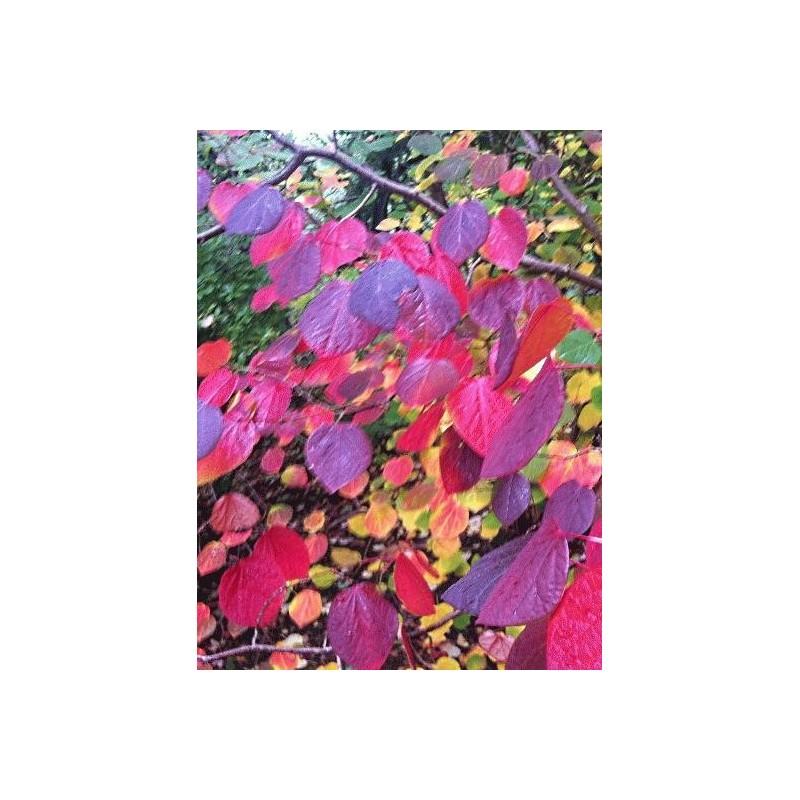 Disanthus cercidifolius - autumn colour