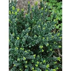 Myrtus communis subsp tarentina - foliage