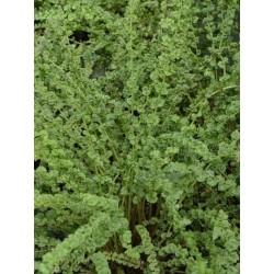 Athyrium filix-femina 'Frizelliae'