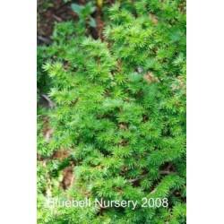 Larix kaempferi 'Wolterdingen' - close up of leaves in spring