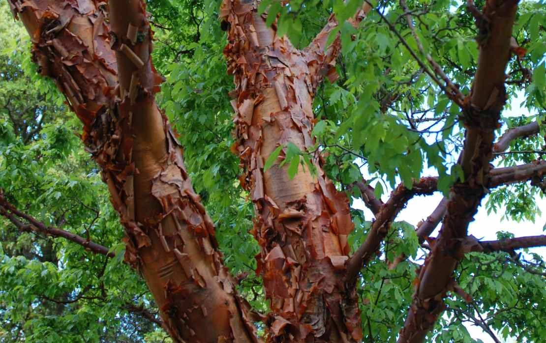 Trees and shrubs with amazing bark!
